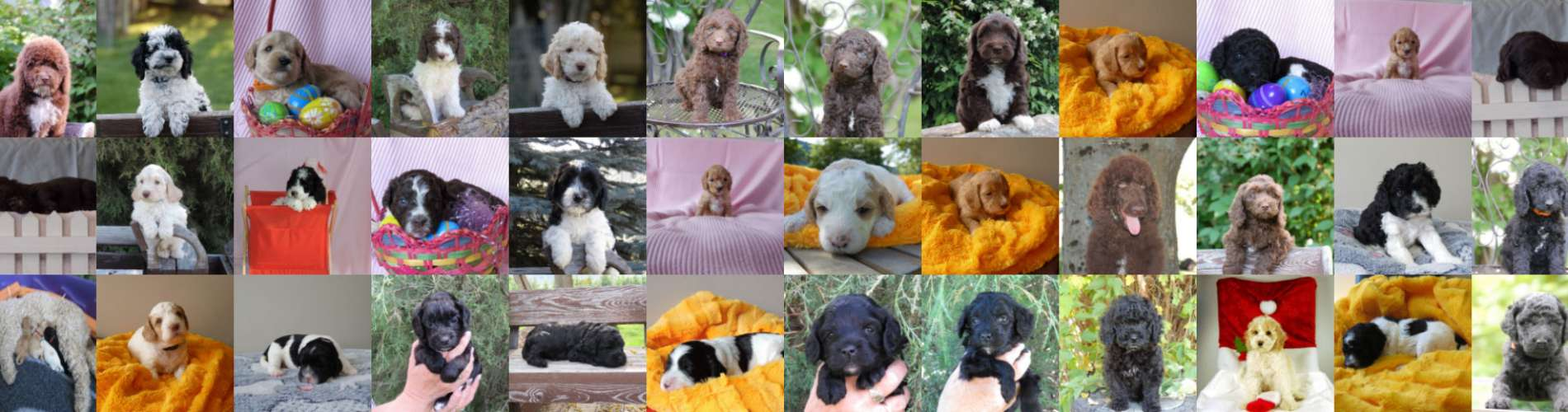 History of Labradoodles - Canadoodle